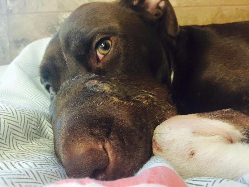 Coup de gueule-Coup de coeur-Caitlyn, cette femelle Pitbull torturée et abandonnée vient élue « survivante » de l'année 2015 11391710