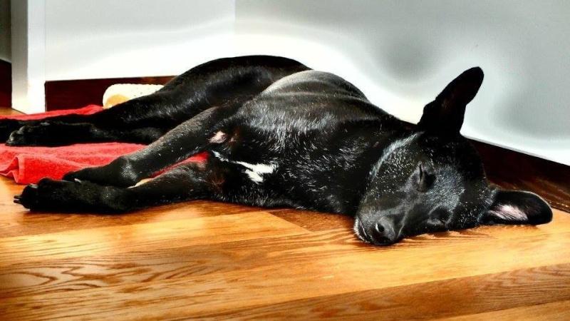 Coup de coeur-Elle pensait offrir une mort digne à ce chien agonisant. Il a choisi de vivre Billy-16