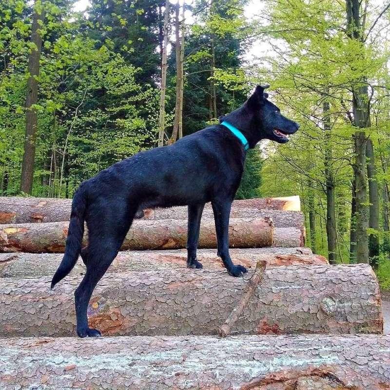 Coup de coeur-Elle pensait offrir une mort digne à ce chien agonisant. Il a choisi de vivre Billy-17