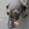 Papotage sur les chiens qui bénéficient de l'Opération Doyen - Page 4 Kiki_d11