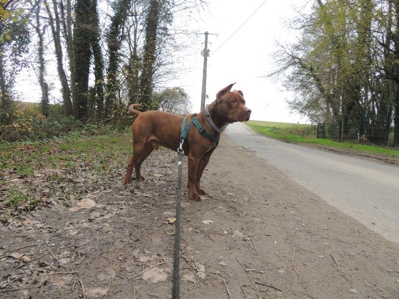 MARLEY- Staffordshire Bull Terrier =Staffie Mercre39