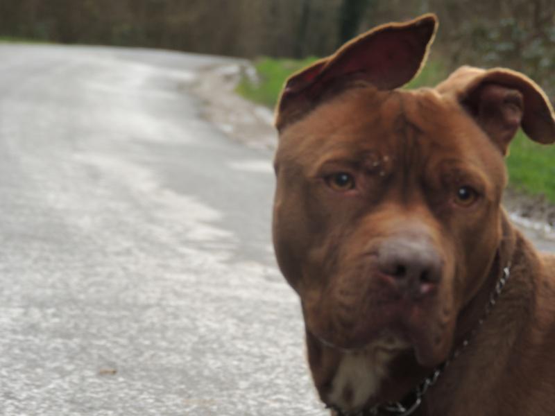 MARLEY- Staffordshire Bull Terrier =Staffie Mercre97