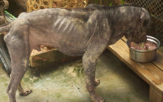 Coup de coeur-  Un jeune rottweiler à l'agonie est récupéré par un ami des bêtes : sa transformation est impressionnanteLa belle histoire de Pénélope Rotty111