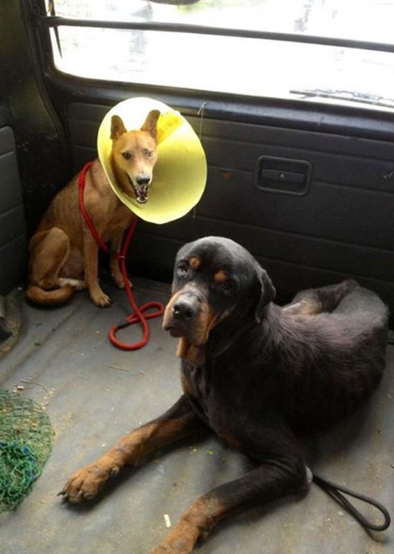 Coup de coeur-  Un jeune rottweiler à l'agonie est récupéré par un ami des bêtes : sa transformation est impressionnanteLa belle histoire de Pénélope Rotty211