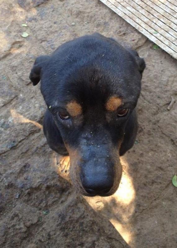 Coup de coeur-  Un jeune rottweiler à l'agonie est récupéré par un ami des bêtes : sa transformation est impressionnanteLa belle histoire de Pénélope Rotty212