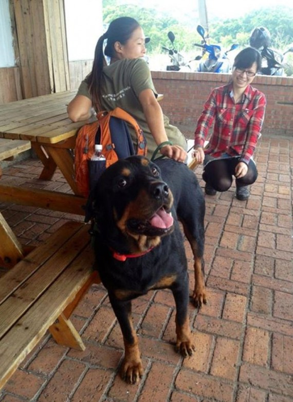 Coup de coeur-  Un jeune rottweiler à l'agonie est récupéré par un ami des bêtes : sa transformation est impressionnanteLa belle histoire de Pénélope Rotty310