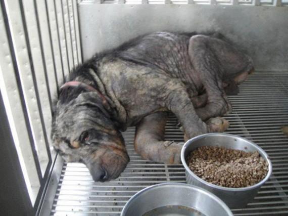 Coup de coeur-  Un jeune rottweiler à l'agonie est récupéré par un ami des bêtes : sa transformation est impressionnanteLa belle histoire de Pénélope Rotty510