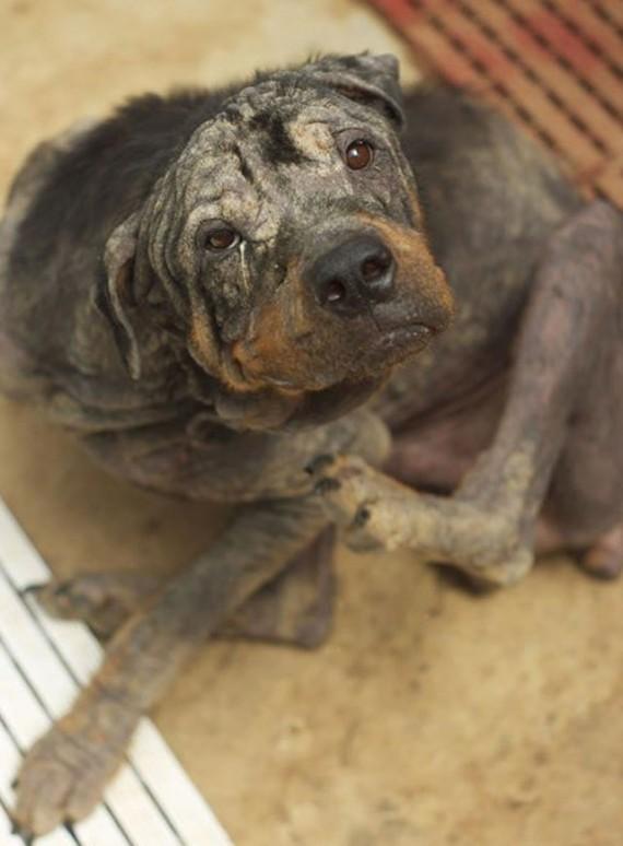 Coup de coeur-  Un jeune rottweiler à l'agonie est récupéré par un ami des bêtes : sa transformation est impressionnanteLa belle histoire de Pénélope Rotty810
