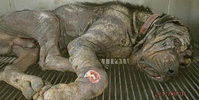 Coup de coeur-  Un jeune rottweiler à l'agonie est récupéré par un ami des bêtes : sa transformation est impressionnanteLa belle histoire de Pénélope Un-jeu10