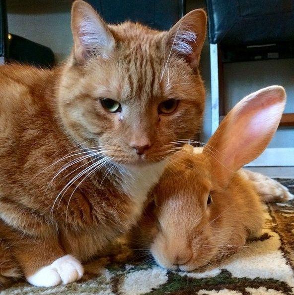 Le chat qui a un lapin géant pour frère jumeau Wallac10