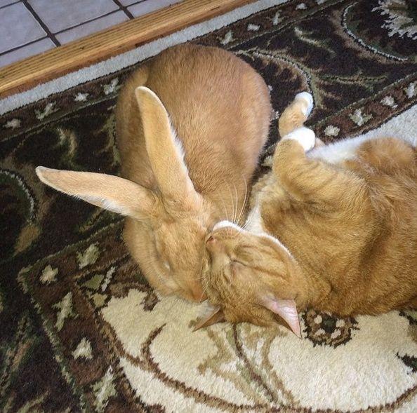 Le chat qui a un lapin géant pour frère jumeau Wallac11