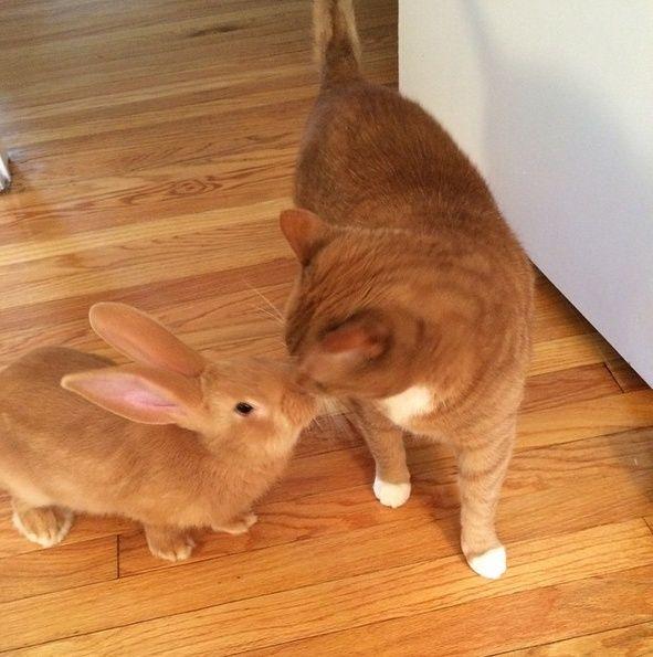 Le chat qui a un lapin géant pour frère jumeau Wallac12