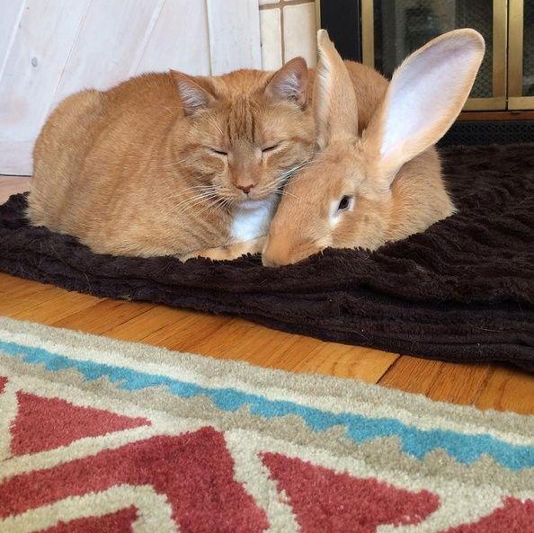 Le chat qui a un lapin géant pour frère jumeau Wallas11