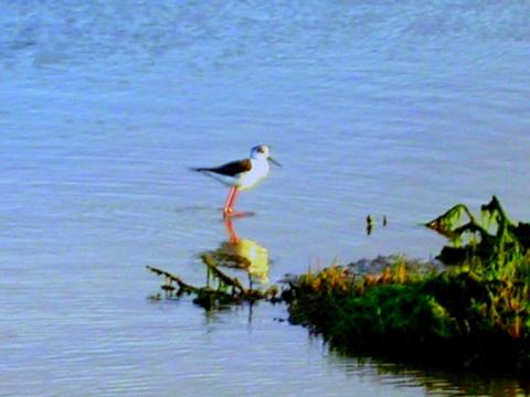 .... El-jadida vers Oualidia Oiseau10