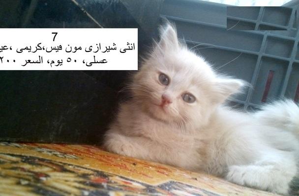 للبيع قطط شيرازى بيور بمصر 2016 110