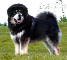 مطلوب كلب القوقازي وكلب جيرمن شيبرد للبيع  11078910