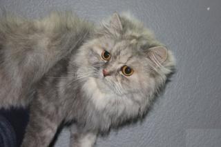 قطه منتجه شيرازيه بيور جميله جدا للبيع 116