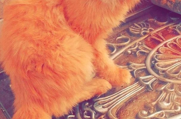 قطط بيكي فيس للبيع بجدة  1906e410