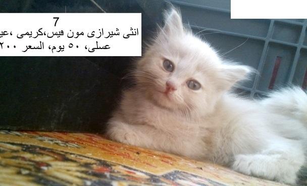 للبيع قطط شيرازى بيور بمصر 2016 211