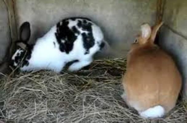 أرانب منزلية للبيع باقل الاسعار 213