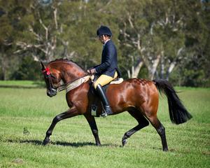 خيول عربية اصيله للبيع السعودية 2016 215