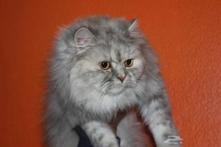 قطه منتجه شيرازيه بيور جميله جدا للبيع 216