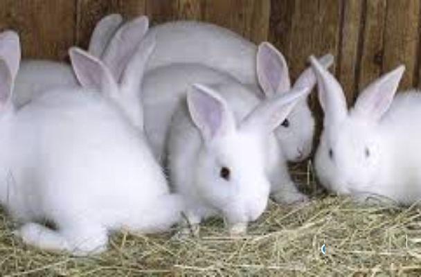 أرانب منزلية للبيع باقل الاسعار 312