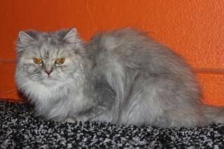 قطه منتجه شيرازيه بيور جميله جدا للبيع 315