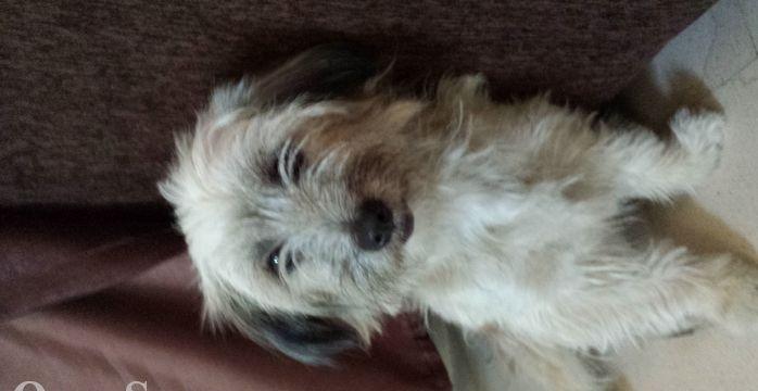كلب مدرب للبيع السعر قابل للتفاوض 3311