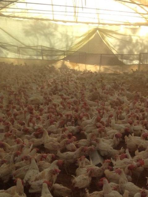 للبيع  دجاج ابيض بياض تبوك  56b0de11