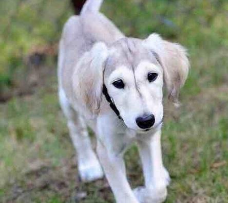 مطلوب كلب سلوقي جرو للبيع 6a404b10