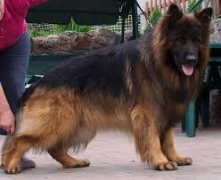 مطلوب كلب القوقازي وكلب جيرمن شيبرد للبيع  90199710