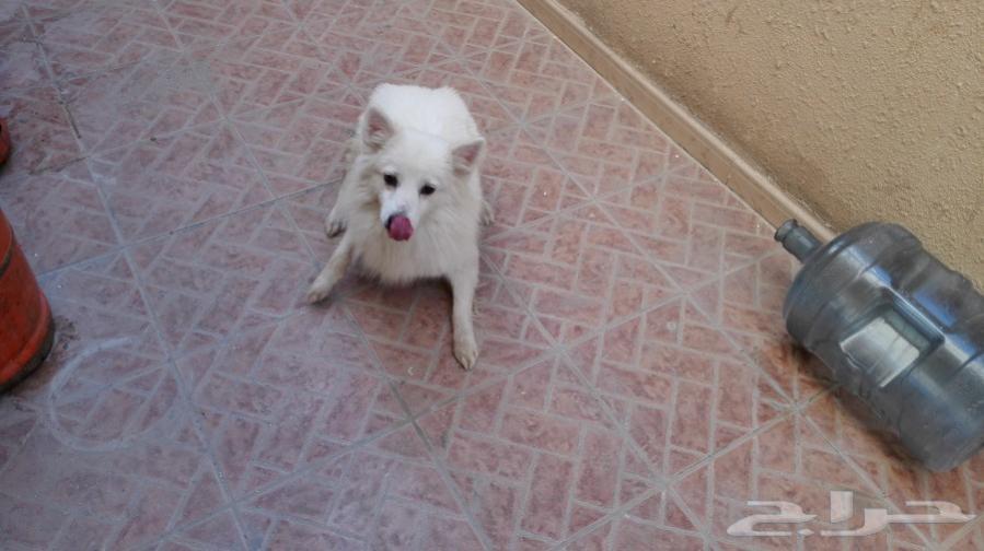 للبيع كلب بوجي بالدمام Da10