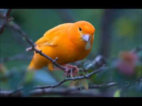 تحميل تغريد طائر الكناري mp3 مجانا Hqdefa10