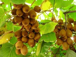 تحميل كتاب كيفية وطريقة زراعة شجرة وفاكهة الكيوي  Hwaml_10