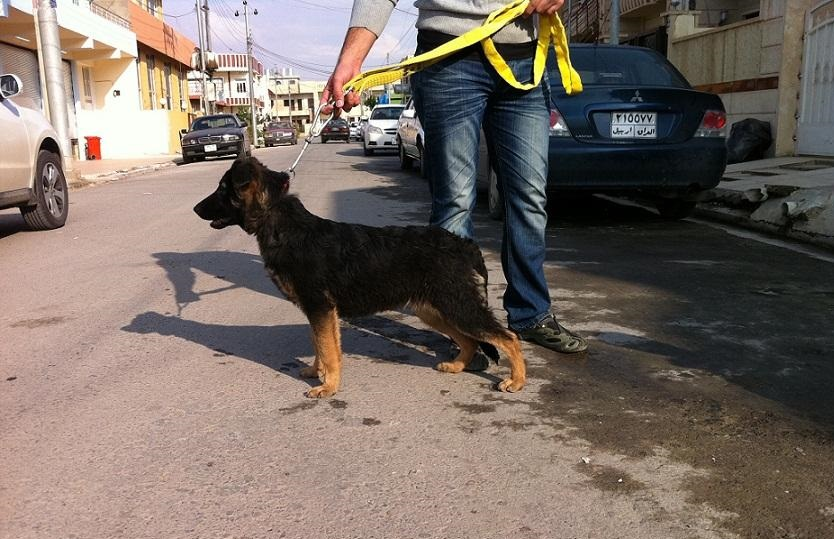 كلب جيرمن شيبرد انثى للبيع العراق Img_110