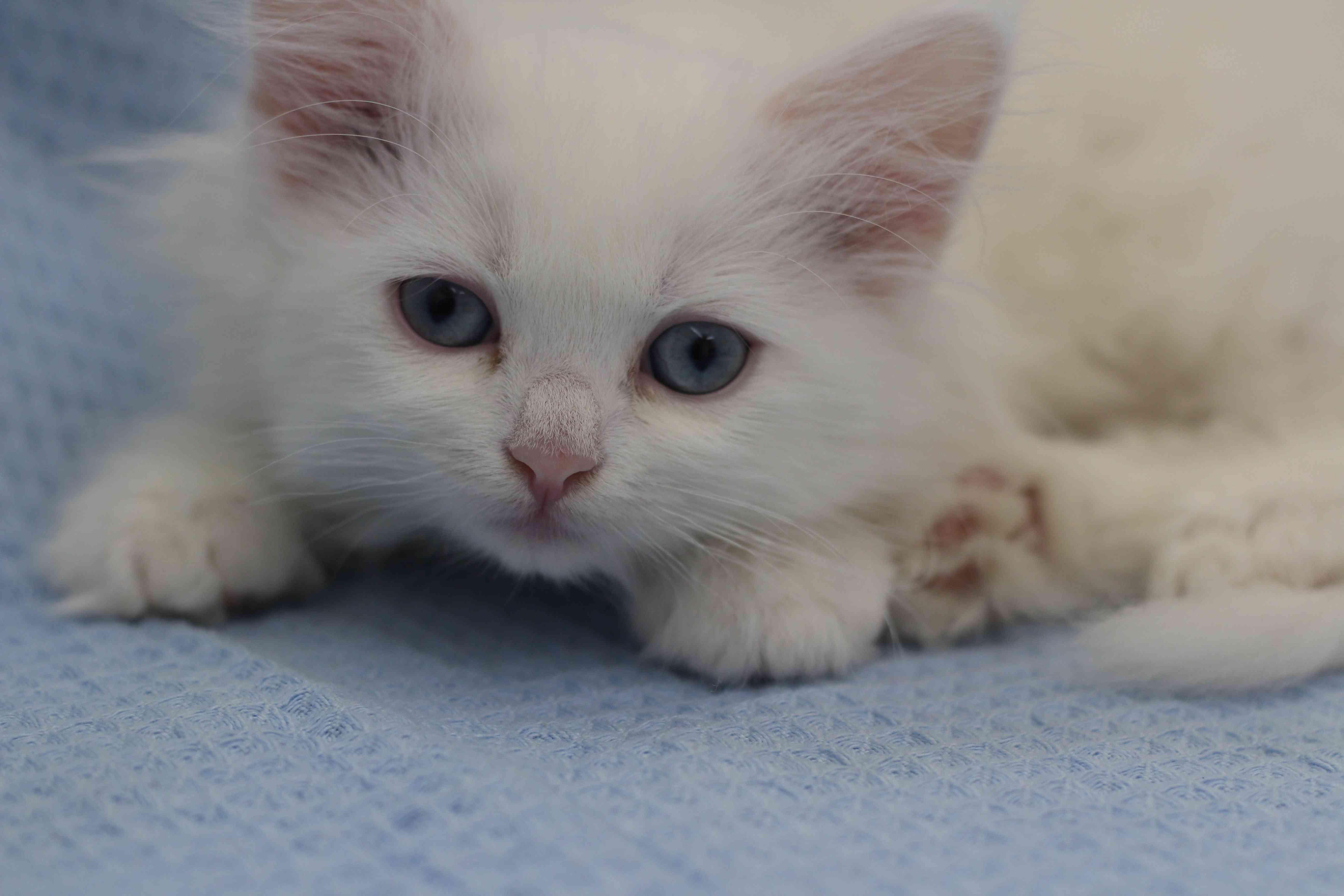 قطط صغيرة شيرازي بجدة للبيع :) .  Img_8311