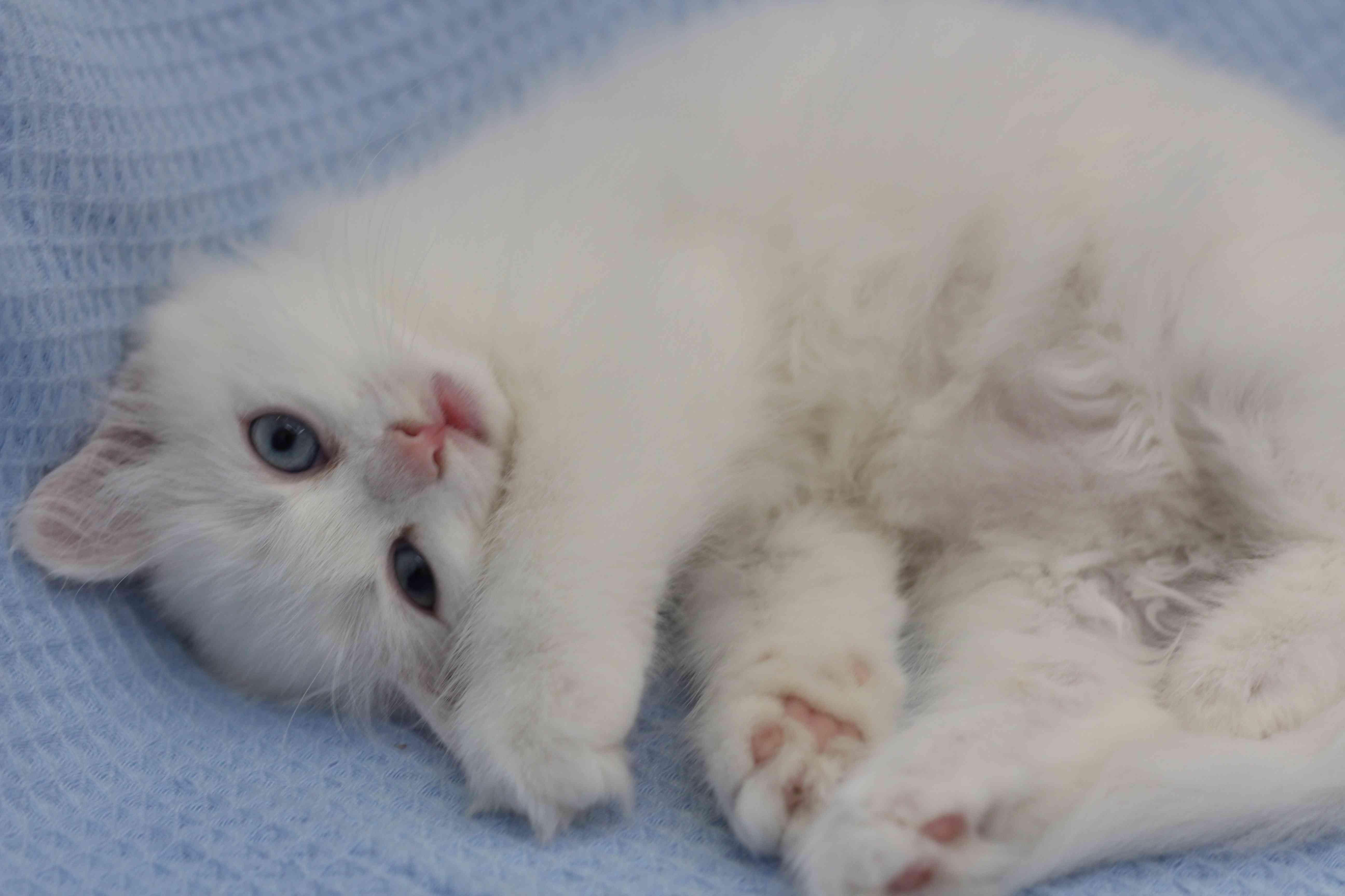قطط صغيرة شيرازي بجدة للبيع :) .  Img_8312