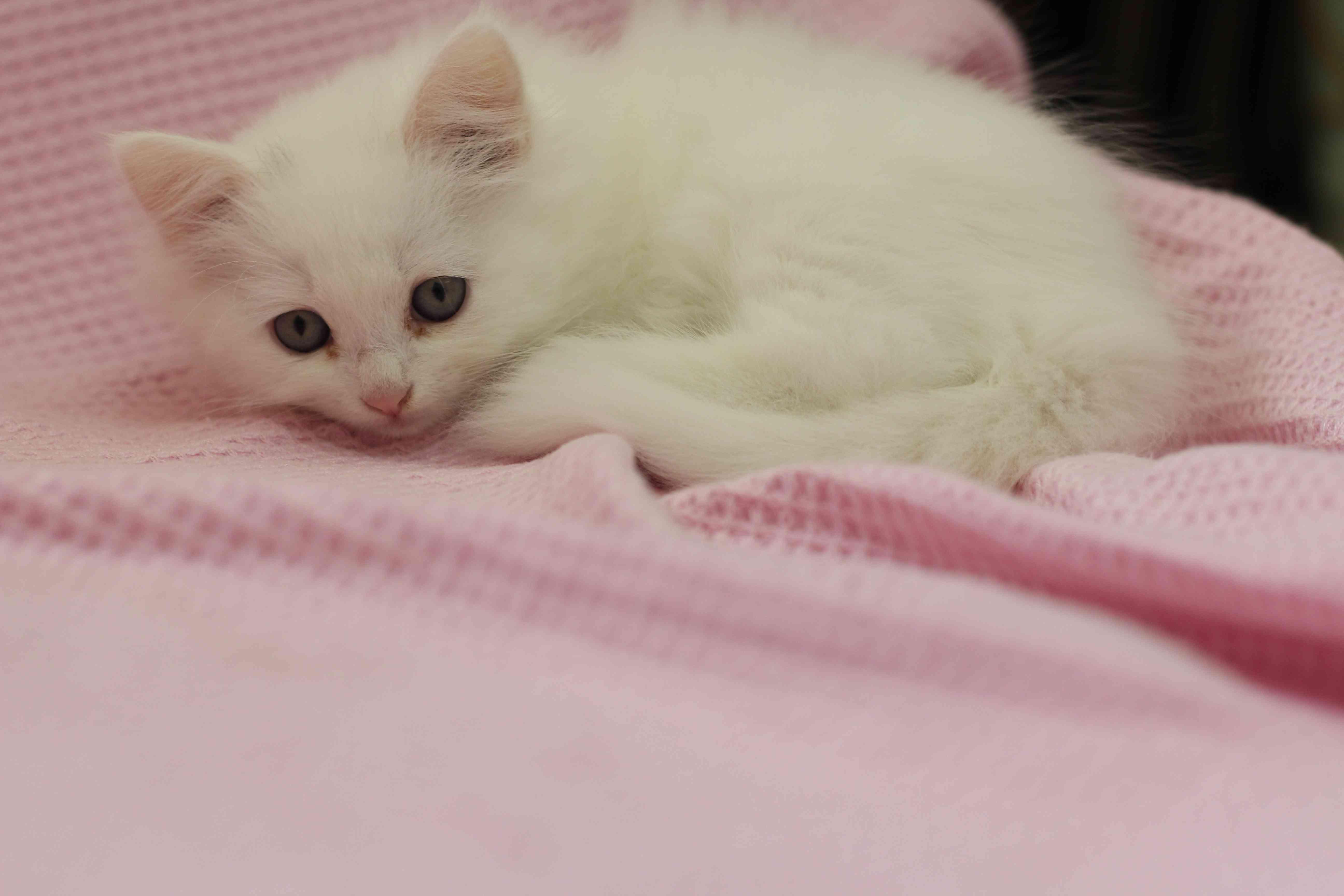 قطط صغيرة شيرازي بجدة للبيع :) .  Img_8410