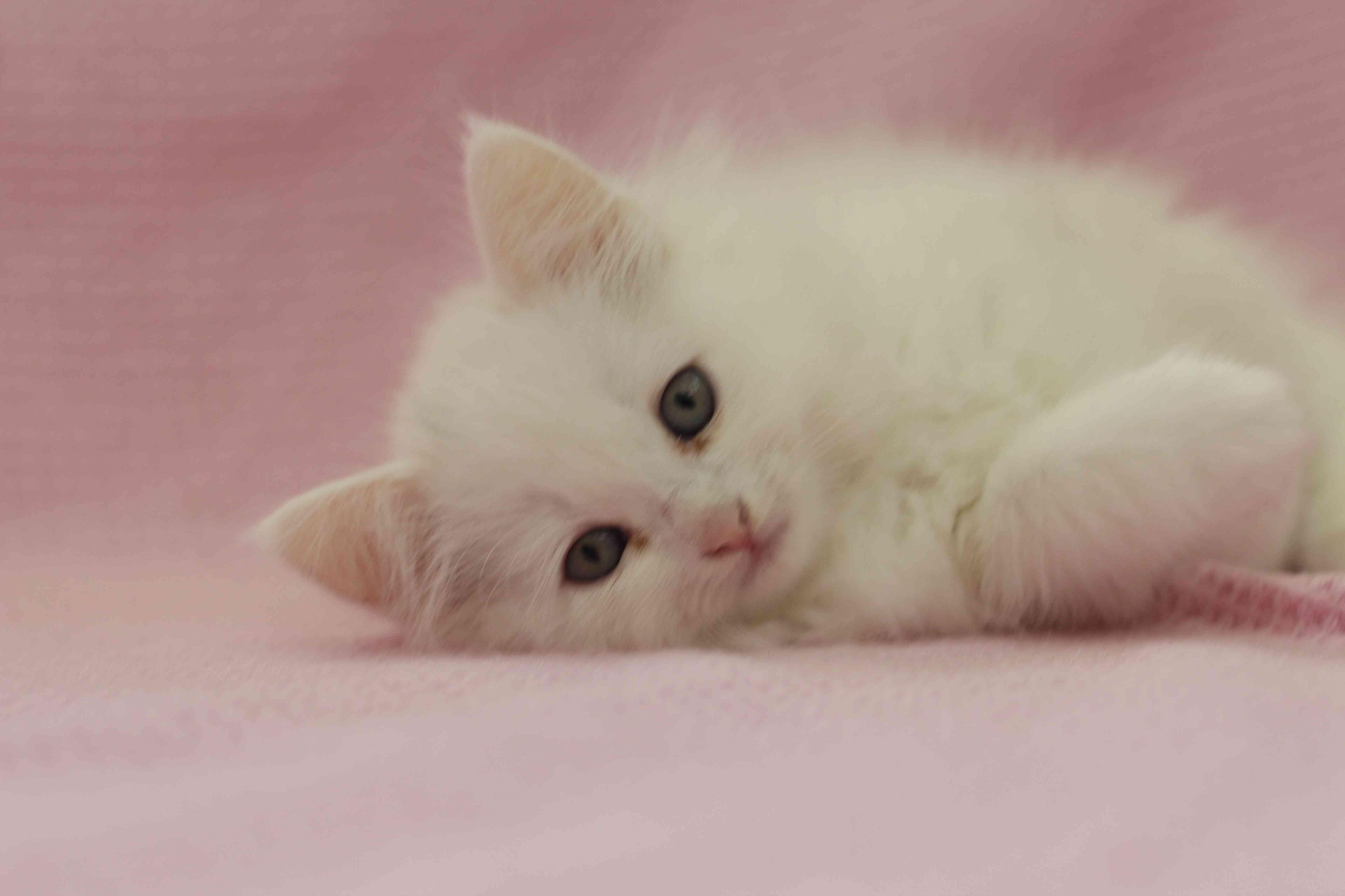 قطط صغيرة شيرازي بجدة للبيع :) .  Img_8411