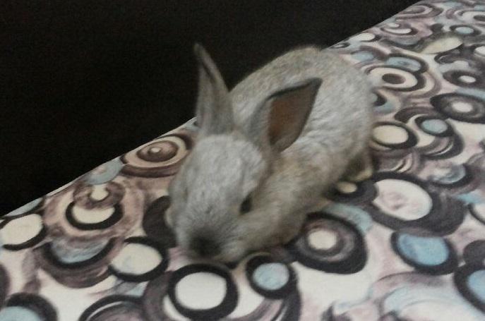 للبيع ارنب بلدي اليف Oepplk10