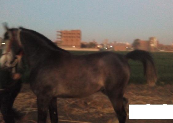 حصان عربي للبيع في مصر 2016 Ww10