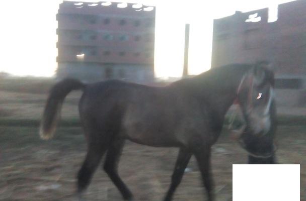 حصان عربي للبيع في مصر 2016 Xx10