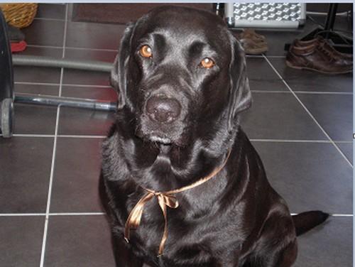 Chienne labrador noire 9 ans - Urgence sinon donnée ou euthanasiée si aucune solution 211