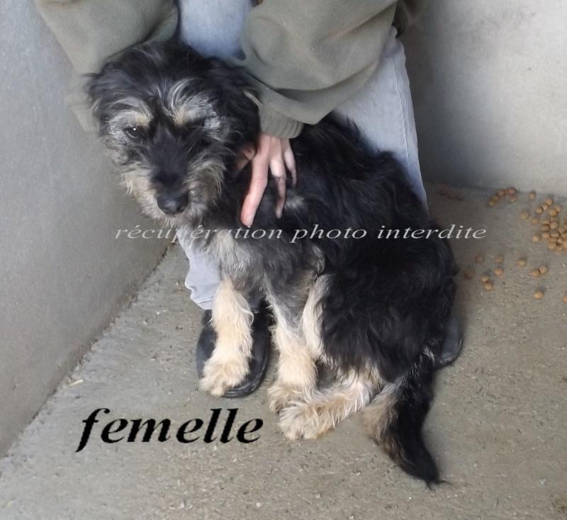 [Réservée] Jeune chienne type griffon noire et beige - Fourrière Sud 44 - Délai 22 février 2016 - 2f13