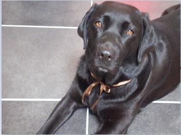 Chienne labrador noire 9 ans - Urgence sinon donnée ou euthanasiée si aucune solution 311