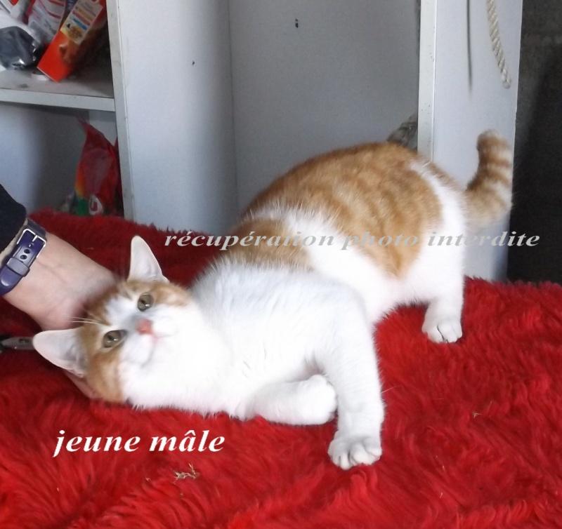 Jeune chaton mâle roux et blanc - Fourrière Sud 44 - Délain 16/12/2015 3f10