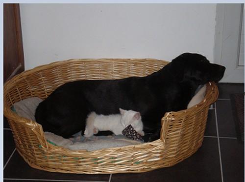 Chienne labrador noire 9 ans - Urgence sinon donnée ou euthanasiée si aucune solution 412