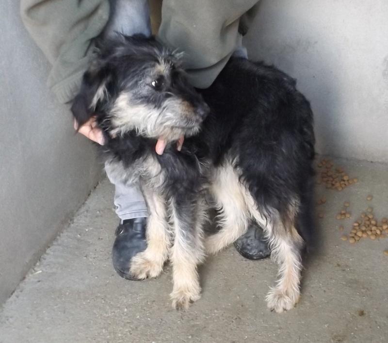 [Réservée] Jeune chienne type griffon noire et beige - Fourrière Sud 44 - Délai 22 février 2016 - 415