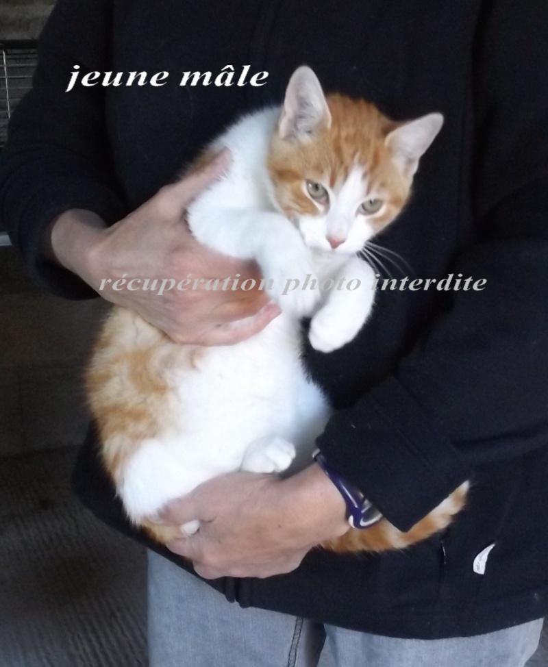 Jeune chaton mâle roux et blanc - Fourrière Sud 44 - Délain 16/12/2015 6f11